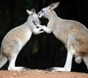 kangaroo-love-450ds020911.jpg