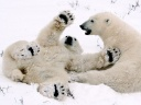 polar-bear-cubs.jpg